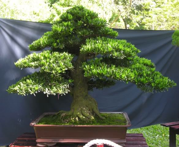 Bonsai exhibition at Spring Flower Festival (viet Nam) 25Podocarpuschinensis