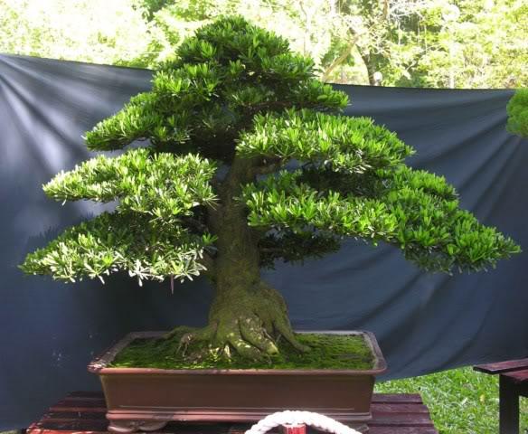 Bonsai exhibition at Spring Flower Festival (viet Nam) 25Podocarpuschinensis