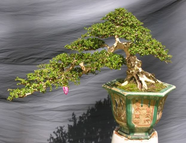 Bonsai exhibition at Spring Flower Festival (viet Nam) 26Antidesmaacidum5