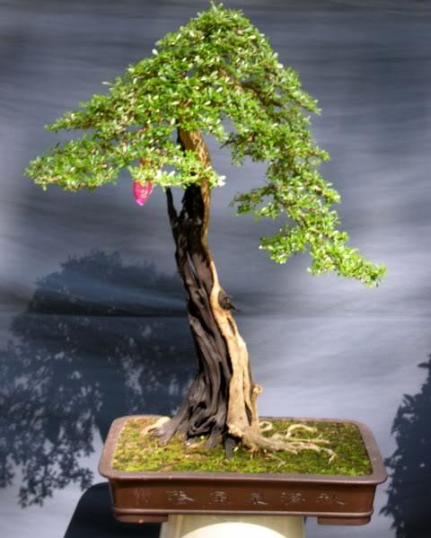 Bonsai exhibition at Spring Flower Festival (viet Nam) 27Desmodiumunifoliatum3