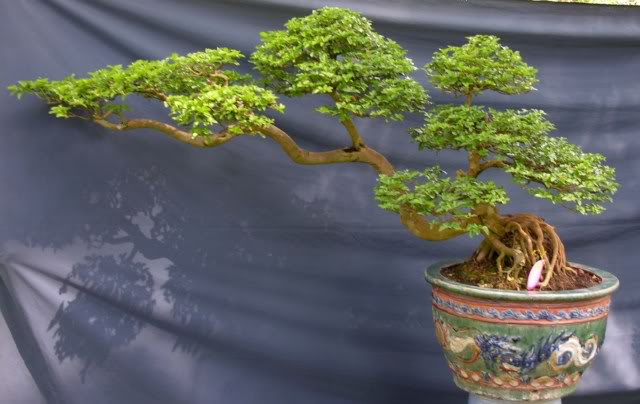 Bonsai exhibition at Spring Flower Festival (viet Nam) 28Triphasiatrifoliata
