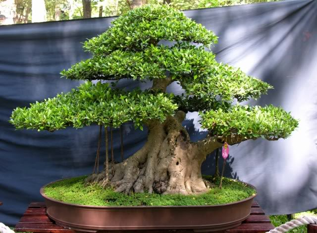 Bonsai exhibition at Spring Flower Festival (viet Nam) 30Ficus2