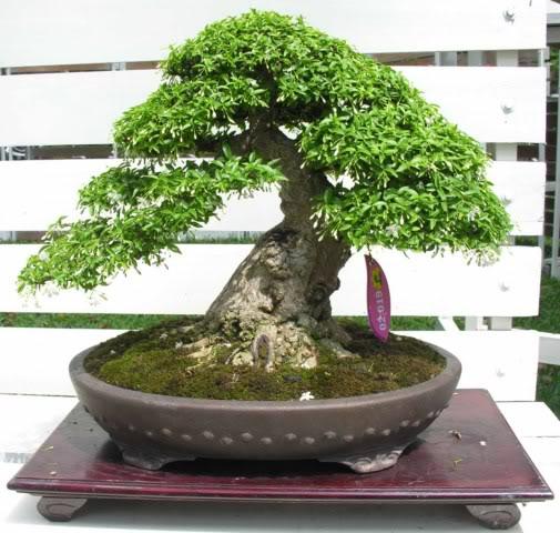 Bonsai exhibition at Spring Flower Festival (viet Nam) 31Wrightiareligiosa34