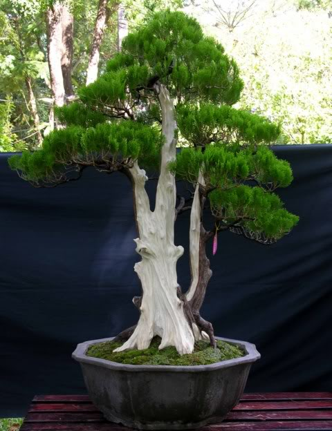 Bonsai exhibition at Spring Flower Festival (viet Nam) 32Biotaonentalis