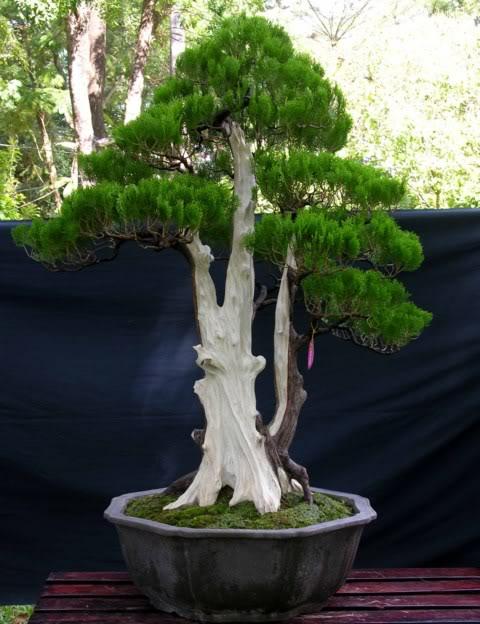 Bonsai exhibition at Spring Flower Festival (viet Nam) 32Biotaonentalis
