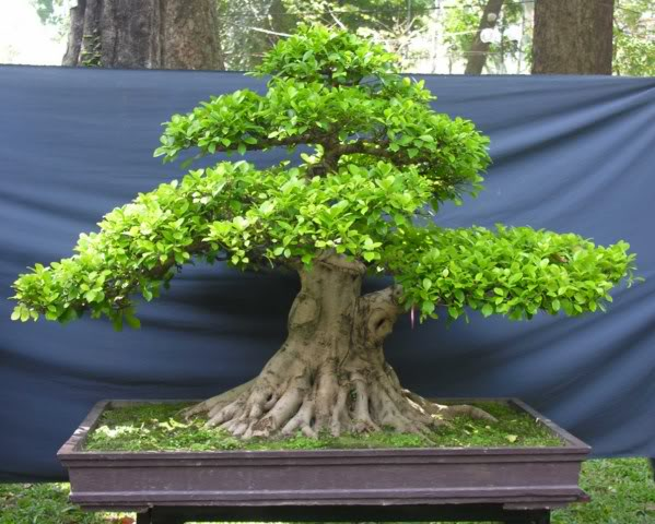 Bonsai exhibition at Spring Flower Festival (viet Nam) 35Ficus4