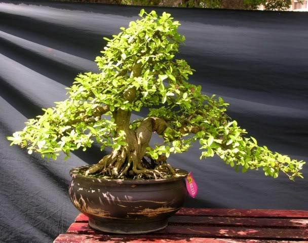 Bonsai exhibition at Spring Flower Festival (viet Nam) 36MalpighiaGlabra