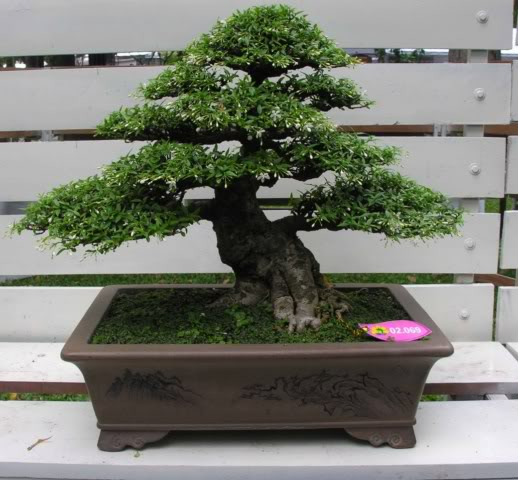 Bonsai exhibition at Spring Flower Festival (viet Nam) 37Wrightiareligiosa33