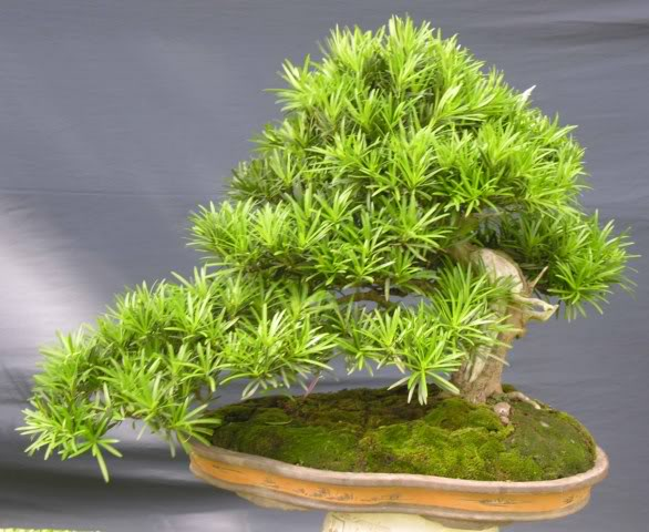 Bonsai exhibition at Spring Flower Festival (viet Nam) 38Podocarpusmacrophyllus