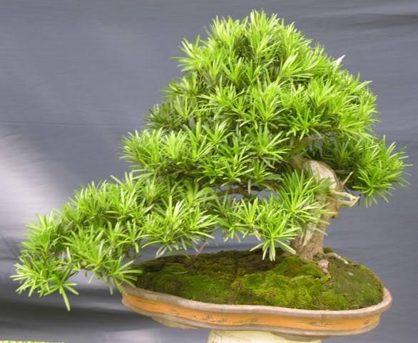 Bonsai exhibition at Spring Flower Festival (viet Nam) 38Podocarpusmacrophyllus