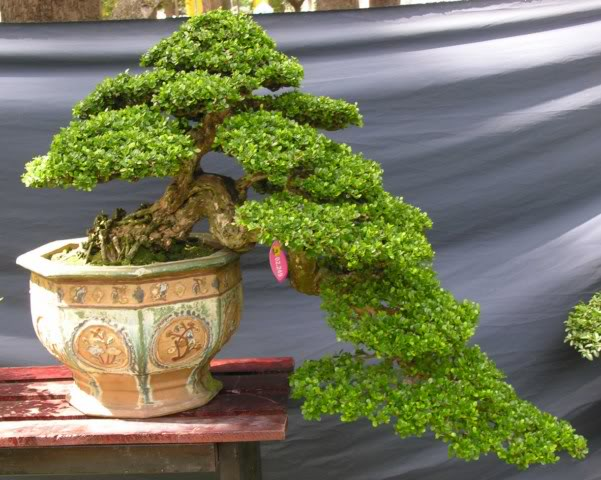 Bonsai exhibition at Spring Flower Festival (viet Nam) 39Antidesmaacidum7