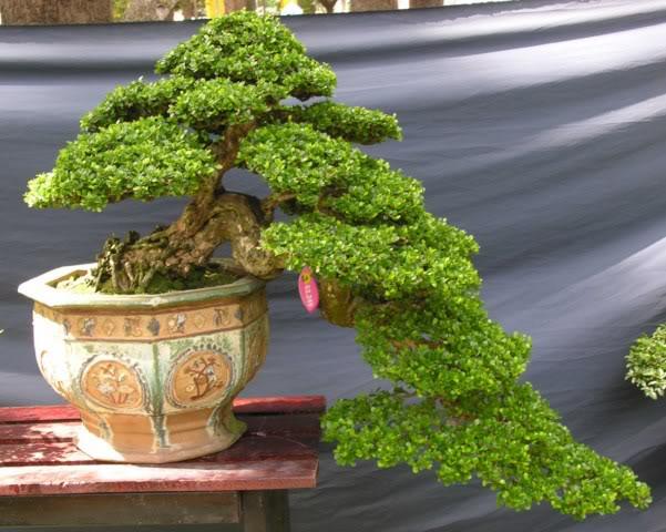 Bonsai exhibition at Spring Flower Festival (viet Nam) 39Antidesmaacidum7