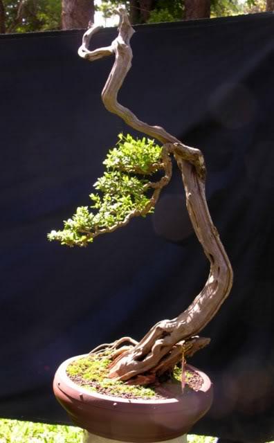 Bonsai exhibition at Spring Flower Festival (viet Nam) 40Desmodiumunifoliatum5