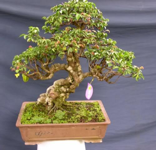 Bonsai exhibition at Spring Flower Festival (viet Nam) 41AverrhoacarambolaL2