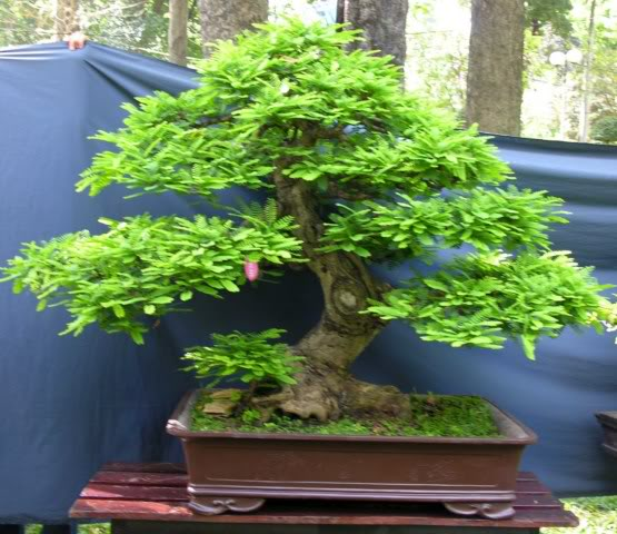 Bonsai exhibition at Spring Flower Festival (viet Nam) 42Tamarindusindica