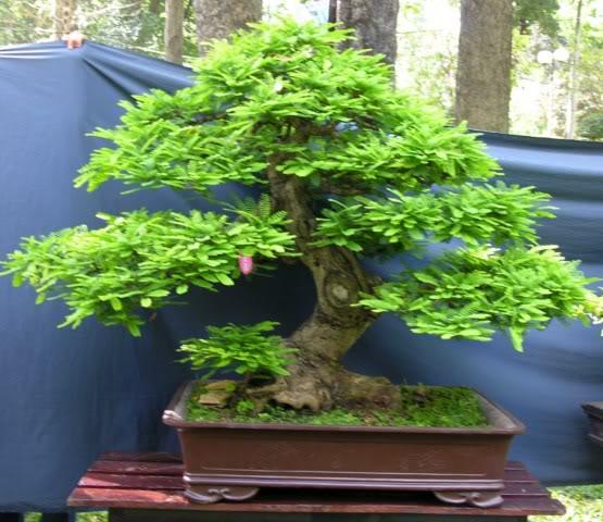 Bonsai exhibition at Spring Flower Festival (viet Nam) 42Tamarindusindica
