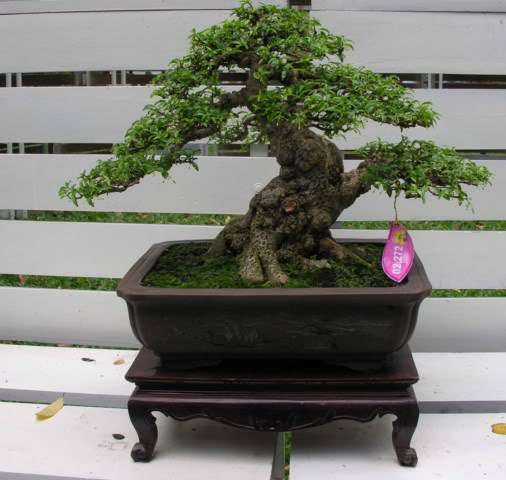 Bonsai exhibition at Spring Flower Festival (viet Nam) 43Wrightiareligiosa32