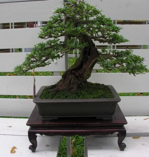 Bonsai exhibition at Spring Flower Festival (viet Nam) 44Desmodiumunifoliatum7