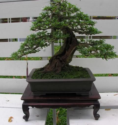 Bonsai exhibition at Spring Flower Festival (viet Nam) 44Desmodiumunifoliatum7