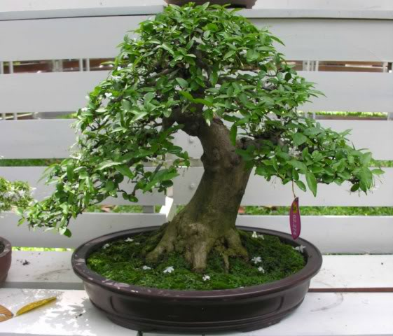 Bonsai exhibition at Spring Flower Festival (viet Nam) 45Wrightiareligiosa31