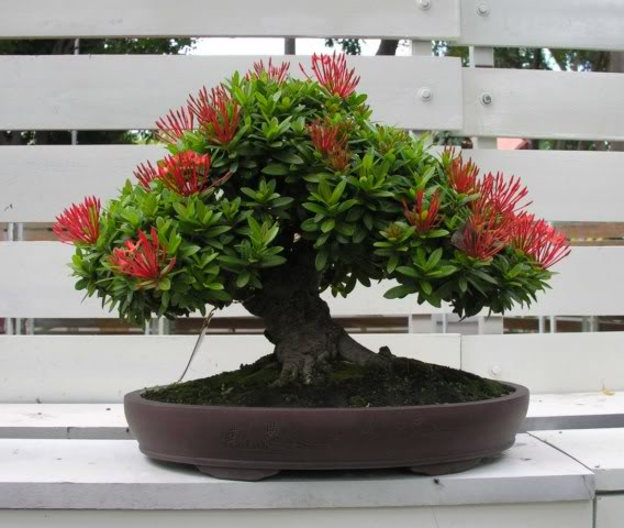Bonsai exhibition at Spring Flower Festival (viet Nam) 47Ixora4