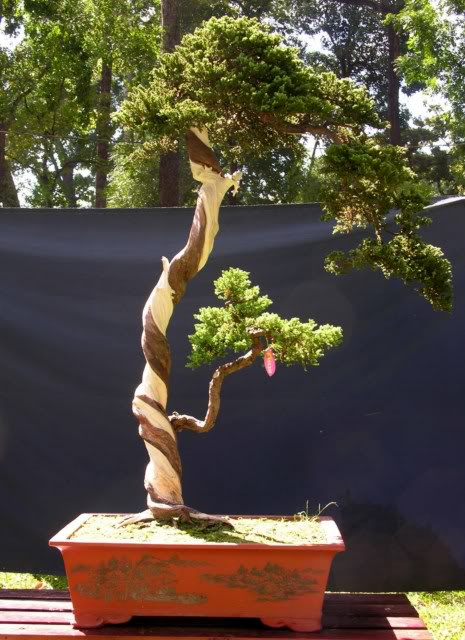 Bonsai exhibition at Spring Flower Festival (viet Nam) 48Sabinachinensis