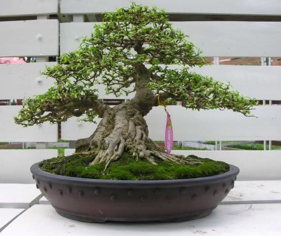 Bonsai exhibition at Spring Flower Festival (viet Nam) 49Wrightiareligiosa30