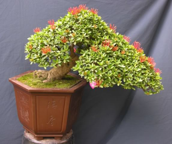 Bonsai exhibition at Spring Flower Festival (viet Nam) 50Ixora3