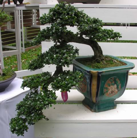 Bonsai exhibition at Spring Flower Festival (viet Nam) 51Antidesmaacidum13