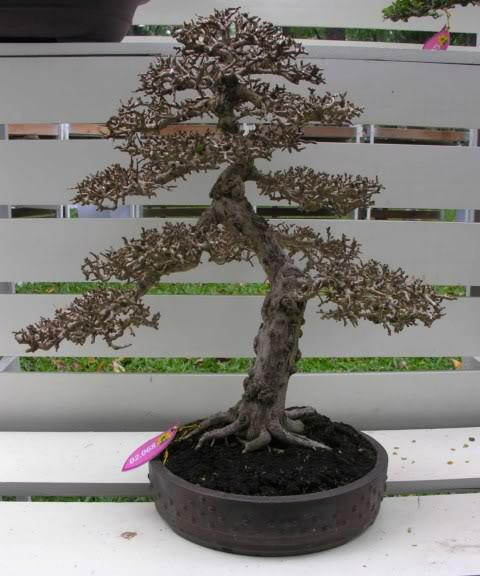 Bonsai exhibition at Spring Flower Festival (viet Nam) 53Antidesmaacidum14