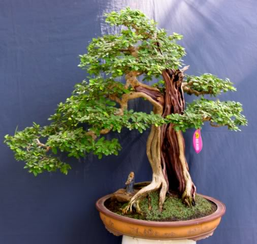 Bonsai exhibition at Spring Flower Festival (viet Nam) 56Desmodiumunifoliatum6