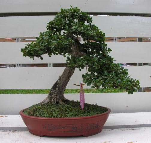 Bonsai exhibition at Spring Flower Festival (viet Nam) 57Antidesmaacidum11