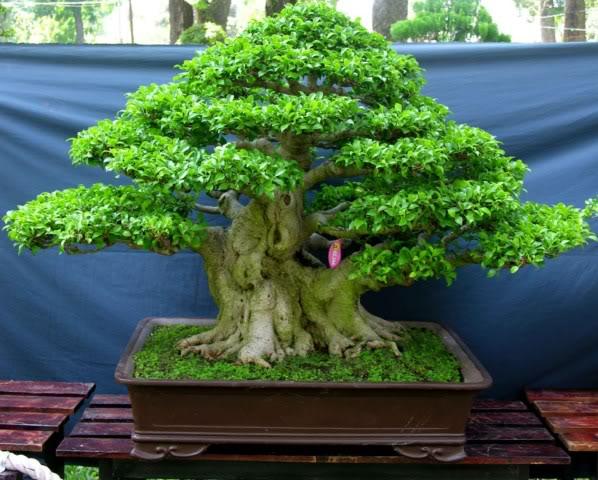 Bonsai exhibition at Spring Flower Festival (viet Nam) 58Ficus3
