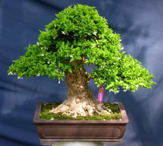 Bonsai exhibition at Spring Flower Festival (viet Nam) 59Wrightiareligiosa9