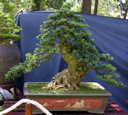Bonsai exhibition at Spring Flower Festival (viet Nam) 5Feroniellalucida2