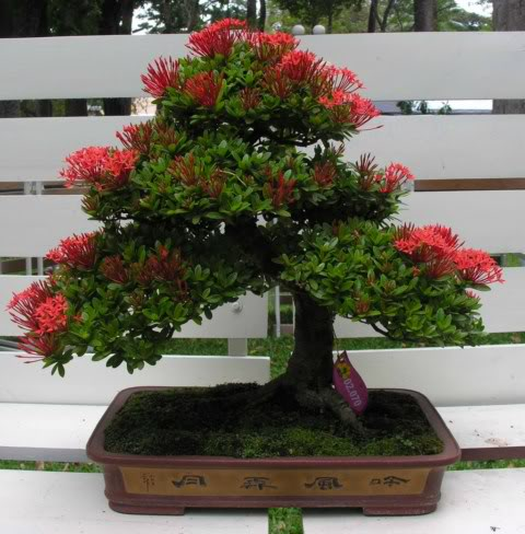 Bonsai exhibition at Spring Flower Festival (viet Nam) 60Ixora5
