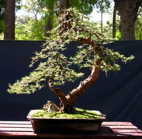 Bonsai exhibition at Spring Flower Festival (viet Nam) 61Casuarinaequisetifolia