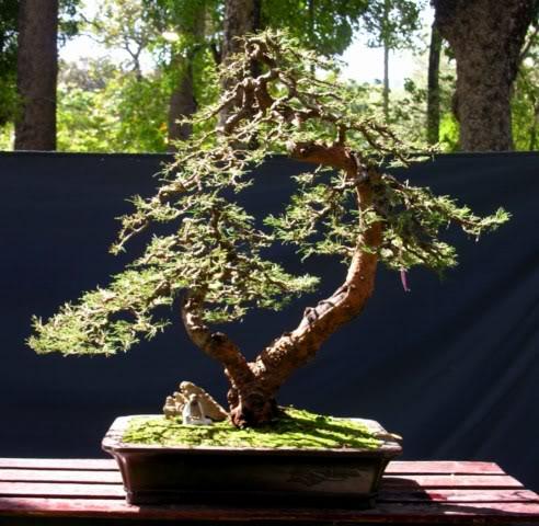 Bonsai exhibition at Spring Flower Festival (viet Nam) 61Casuarinaequisetifolia