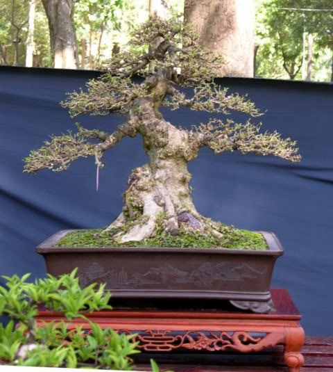 Bonsai exhibition at Spring Flower Festival (viet Nam) 62Wrightiareligiosa12