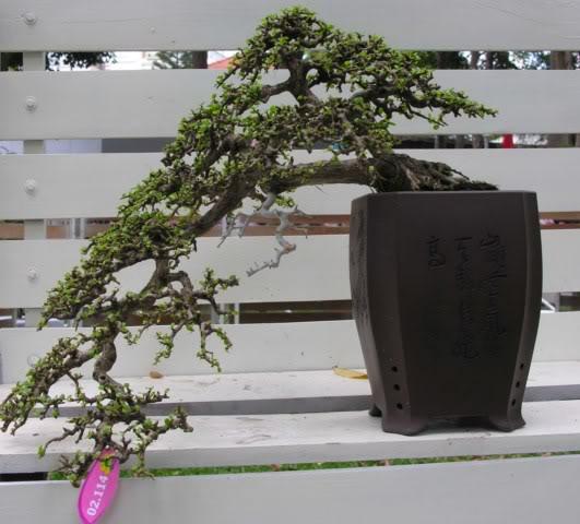 Bonsai exhibition at Spring Flower Festival (viet Nam) 63Antidesmaacidum10