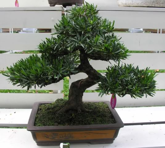 Bonsai exhibition at Spring Flower Festival (viet Nam) 64Podocarpusmacrophyllus2