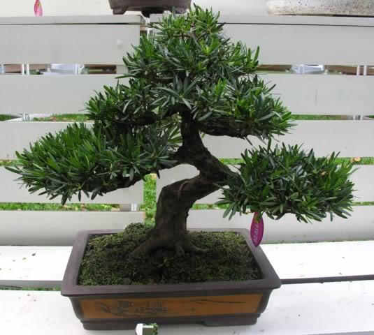 Bonsai exhibition at Spring Flower Festival (viet Nam) 64Podocarpusmacrophyllus2