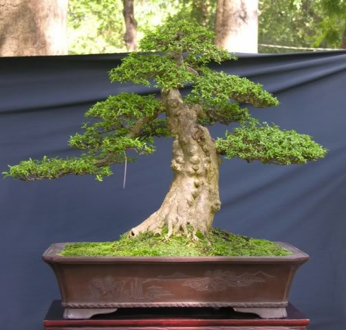 Bonsai exhibition at Spring Flower Festival (viet Nam) 65Wrightiareligiosa11