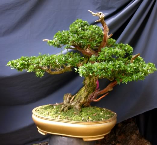 Bonsai exhibition at Spring Flower Festival (viet Nam) 66Desmodiumunifoliatum4