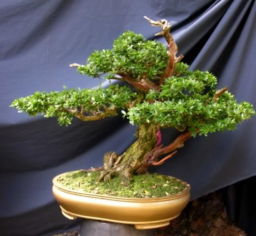 Bonsai exhibition at Spring Flower Festival (viet Nam) 66Desmodiumunifoliatum4