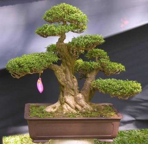 Bonsai exhibition at Spring Flower Festival (viet Nam) 67Wrightiareligiosa8