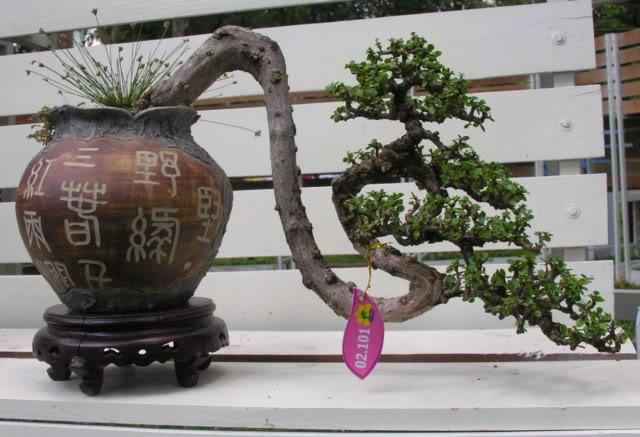 Bonsai exhibition at Spring Flower Festival (viet Nam) 68Antidesmaacidum16