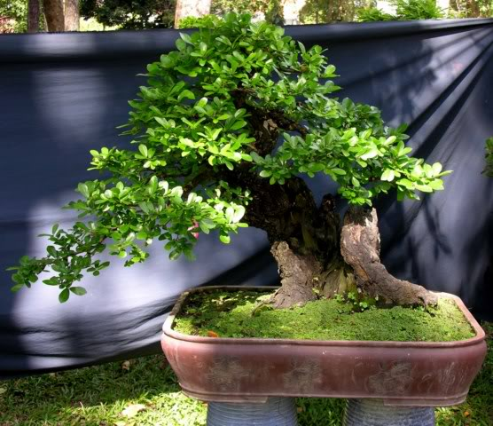Bonsai exhibition at Spring Flower Festival (viet Nam) 69Diospyrosmaritima