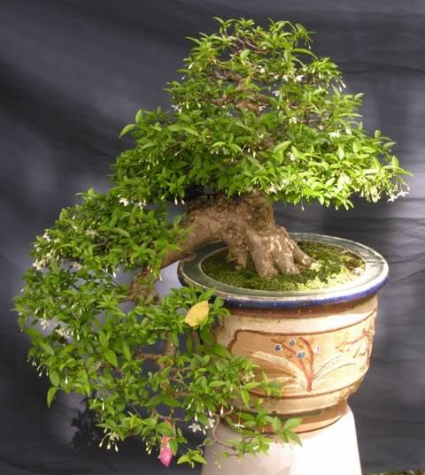 Bonsai exhibition at Spring Flower Festival (viet Nam) 70Wrightiareligiosa13