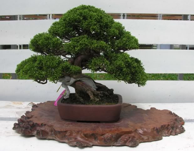Bonsai exhibition at Spring Flower Festival (viet Nam) 71junipe2r